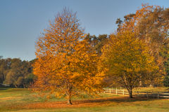 Golf Course Two gold leaf trees. Golf Course gold leaf tree during fall with fallen leaves on green grass Stock Images