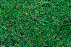 Golf Courses green lawn. Background Stock Photos