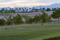 Golf courses among the palms. Golf courses among palm trees look particularly attractive Royalty Free Stock Photos