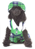 Golf Dog. A poodle wearing a golf outfit, isolated on a white background Royalty Free Stock Photo