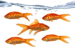 Golf Fish Swimming. Gold fish swimming in one direction while one swims in the opposite direction Stock Photography