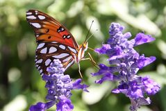 Golf Fritillary Royalty-vrije Stock Foto