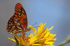 Golf Fritillary auf gelber Blume Lizenzfreies Stockfoto