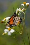 Golf Fritillary-Schmetterling auf weißen Blumen lizenzfreies stockfoto
