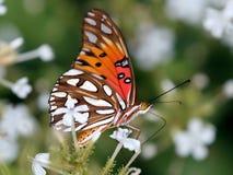 Golf Fritillary-Schmetterling auf weißer Bleiwurz Lizenzfreie Stockfotos