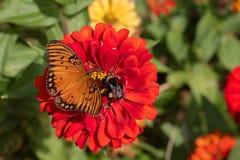 Golf Fritillary-Schmetterling und Hummel, die rote Zinnia-Blüte teilen stockfotos