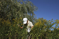 Golf trouble. Golfer in trouble searching for his golf ball Stock Image