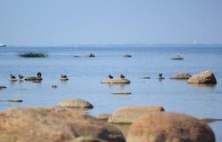 Golf van Finkand - Overzees, hemel, eenden, zeemeeuwen en stenen Royalty-vrije Stock Afbeeldingen