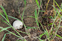 Golfball an der Basis des Baums Stockbild