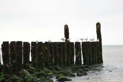Golfbrekers met zeemeeuwen op de kustlijn van de Noordzee Stock Foto