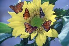 GolfFritillaries auf Sonnenblume Stockfotografie