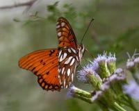 GolfFritillary på purpurfärgade vildblommor i södra Texas Fotografering för Bildbyråer