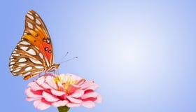 GolfFritillarybasisrecheneinheit, die auf rosafarbenem Zinnia speist Lizenzfreie Stockfotografie