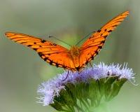 GolfFritillaryfjäril på vildblomma Arkivfoton