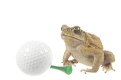 Golfing Frog. Frog and golf ball  isolated on a white background Royalty Free Stock Photo