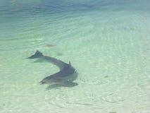 golfinho Imagens de Stock Royalty Free