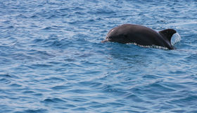 Golfinho alegre. Foto de Stock Royalty Free