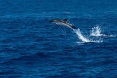 Golfinho ao saltar no mar azul profundo Imagem de Stock Royalty Free
