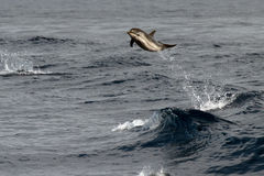 Golfinho ao saltar no mar azul profundo fotos de stock royalty free