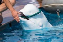 Golfinho branco na associação Fotos de Stock