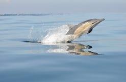 Golfinho comum que pula em África do Sul foto de stock