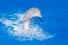Golfinho de Bottlenosed, truncatus do Tursiops, na água azul Cena da ação dos animais selvagens da natureza do oceano O golfinho  Imagem de Stock Royalty Free