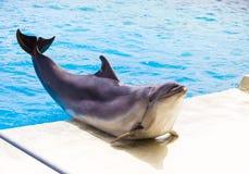 Golfinho do nariz da garrafa no parque de Attica Zoological fotos de stock royalty free