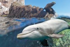 Golfinho e leão de mar subaquático imagens de stock royalty free