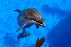 Golfinho em Sevastopol Dolphinarium Fotos de Stock