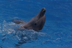 Golfinho feliz Fotos de Stock Royalty Free