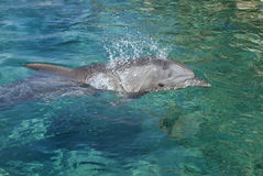 golfinho Frasco-cheirado fotos de stock royalty free