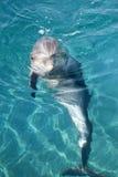 golfinho Frasco-cheirado imagens de stock royalty free