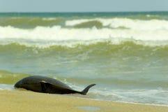 Golfinho inoperante Fotos de Stock Royalty Free