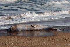 golfinho inoperante jogado na praia imagens de stock royalty free