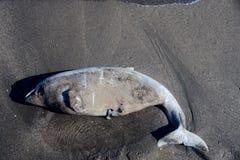 golfinho inoperante jogado na praia imagem de stock royalty free