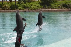 Golfinho no hotel de Atlantis Fotos de Stock Royalty Free