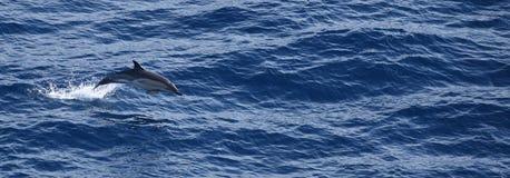 Golfinho no mergulho do mar Fotografia de Stock Royalty Free