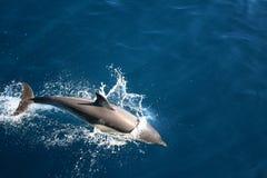 Golfinho no selvagem imagem de stock