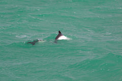 Golfinho obscuro Imagem de Stock Royalty Free