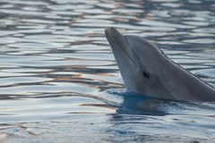 Golfinho que banha-se ainda na água azul foto de stock