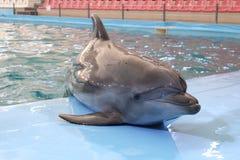 Golfinho que descansa na fase após o desempenho no dolphi Imagens de Stock Royalty Free
