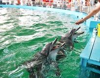 Golfinho que está sendo alimentado Imagens de Stock Royalty Free