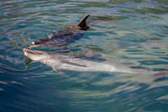 Golfinho que joga no mar Fotografia de Stock Royalty Free