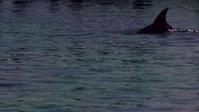 Golfinho que tem um mergulho majestoso na água video estoque