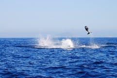 Golfinho selvagem fotografia de stock royalty free