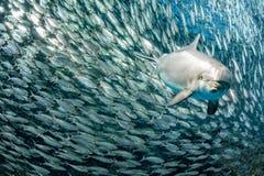 Golfinho subaquático no olhar ascendente do fim do recife fotos de stock