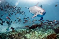 Golfinho subaquático no olhar ascendente do fim do recife Imagens de Stock Royalty Free