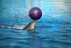 Golfinho treinado Fotos de Stock