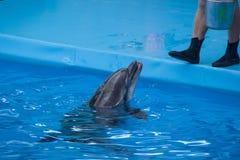Golfinho treinado no aqu?rio, dolphinariums Mostre com golfinhos o instrutor trabalha com um golfinho treinado imagens de stock