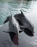 Golfinhos Imagem de Stock